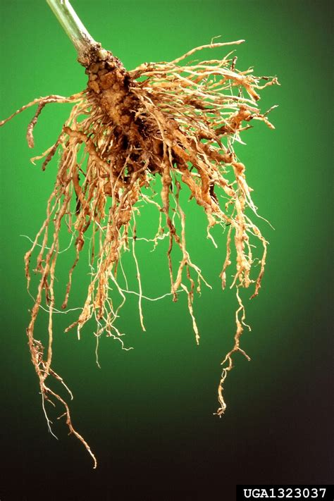 Southern root-knot nematode (Meloidogyne incognita ) on